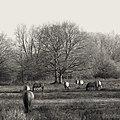 Konik Horses (44666136050).jpg