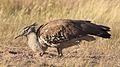 Kori bustard, Ardeotis kori, at Kgalagadi Transfrontier Park, Northern Cape, South Africa (34494051586).jpg