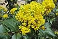 Korina 2013-03-30 Mahonia aquifolium 1.jpg