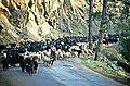 Kovada 18 05 1997 Ziegen Schafe im Aksu Deresi Weg zur Yayla 1.jpg