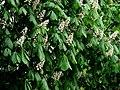 Kwitnący kasztanowiec - panoramio.jpg
