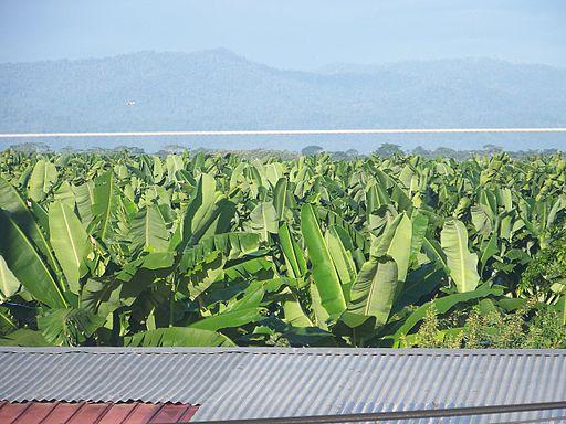La Amistad Panama Biosphere Reserve - Bocas del Toro Province 28 - Bananas plantations
