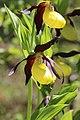 Lady's-Slipper Orchid - Cypripedium calceolus (14041430540).jpg