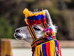 Lama, Ipiales, Colombia, 2015-07-21, DD 04.JPG