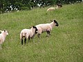 Lambs at play - geograph.org.uk - 455412.jpg