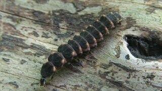 que suis je Martin 18 janvier trouvé par Ajonc 320px--Lampyris_noctiluca_-_larva.ogv