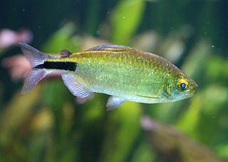 <i>Brycinus</i> genus of fishes