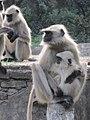 Langur monkeys 02 (5342738405).jpg