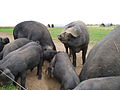 Large Black pigs, Essex.jpg