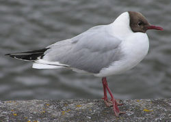 The Black-headed Gull is a smaller species.