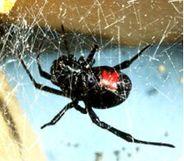 Musta Hämähäkki Suomessa