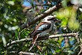 Laughing Kookaburra at Lamington National Park QLD, Australia.jpg