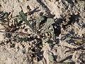 Launaea sarmentosa (Willd.) Kuntze (6679303233).jpg