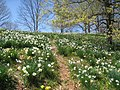 Laurel Ridge Foundation Narcissus Plantings - IMG 6416.JPG