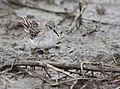 Least Sandpiper (45192808695).jpg