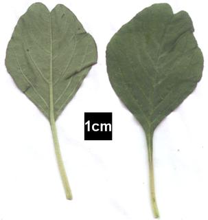 <i>Amaranthus graecizans</i>