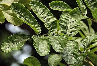 Kigelia - Leaf in Kolkata, West Bengal, India