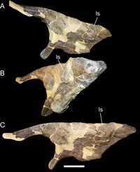 Left ilium of Cedrorestes.png