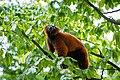 Lemur (36446130752).jpg