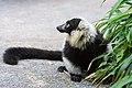 Lemur (36499992423).jpg