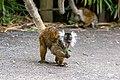 Lemur (37170672751).jpg