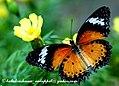 Leopard Lacewing IMG 4493 (3109609502).jpg