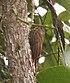 Lepidocolaptes lacrymiger -NW Ecuador-6.jpg