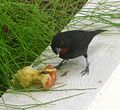 Lesser Antillean Bullfinch.Loxigilla noctis. Male. - Flickr - gailhampshire.jpg