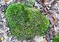 Leucobryum glaucum kz04.jpg