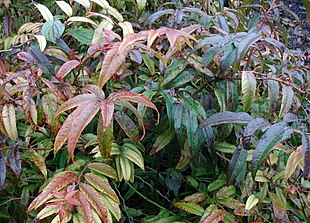 Leucothoë-axiliaris-leaves.JPG