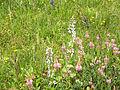 Leutratal-Onobrychis+Salvia-1311.jpg