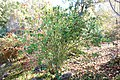 Leycesteria formosa - Quarryhill Botanical Garden - DSC03321.JPG