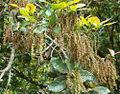 Licania arborea (12576438814).jpg