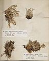 Lichenes Helvetici III IV 1842 017.jpg