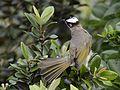 Light-vented Bulbul (Pycnonotus sinensis) (7184485008).jpg