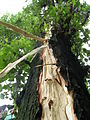 Lightning damage to tree in Makeevka Ukraine 2008 2.jpg