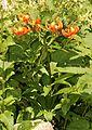 Lilium medeoloides 0s3.JPG