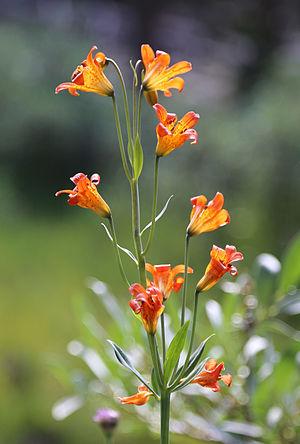 Lilium parvum - Lilium parvum inflorescence
