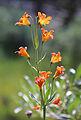 Lilium parvum alpine lily flowerhead.jpg