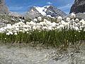 Linaigrette au lac des vaches sur fond de Grande Casse.JPG