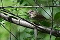 Lincoln's Sparrow (33719944694).jpg