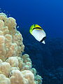Lined butterflyfish swims along a dome coral.JPG