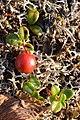 Lingonberry (Vaccinium vitis-idaea) - Bay Roberts, Newfoundland 2019-08-12.jpg