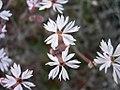 Lithophragma glabrum flowers-3-08-05.jpg