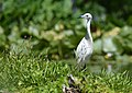 Little Blue Heron (juvenile) (34756455924).jpg