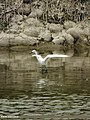 Little Egret (Egretta garzetta) (15707381589).jpg