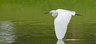 Little Egret flying - Thailand.jpg
