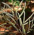 Llavea cordifolia 4.jpg