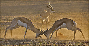 Springbok - Springbok locking horns in a fight