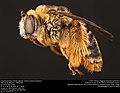 Long-horned bee, female (Apidae, Svastra petulca (Cresson)) (35517635900).jpg